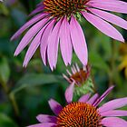 Purple Coneflower    by Scott Englund