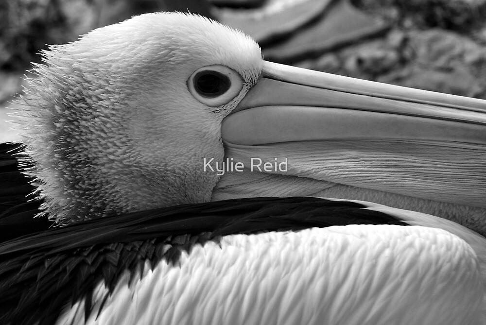 Australian Pelican by Kylie Reid