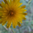 Beautiful Dandelion by MissA