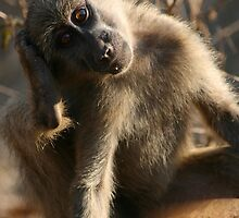 Juvenile Chacma baboon scratching by amjaywed