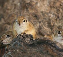 Ground Squirrel nest by amjaywed