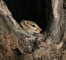 Ground Squirrel by amjaywed