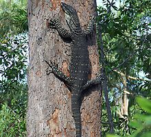 Lace-Monitor... by debsphotos