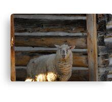 George's sheep Canvas Print