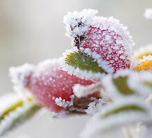 Frosty Berries by Pete Latham