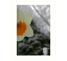 Daffodil sneaking up on Winter Art Print