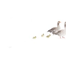 Snow geese by Lynette Dobson