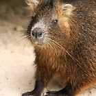 Cuban Hutia by gruntpig