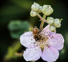 Bee Amid Stamens by Nicole Petegorsky