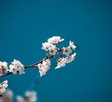 Blossoms of Spring by Andrew Moore