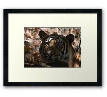 Dappled Tiger  Framed Print