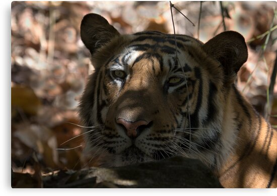 Dappled Tiger  by Steve Bulford