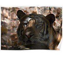 Dappled Tiger  Poster