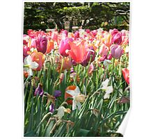 Color Wash of Tulips Poster