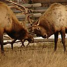Elk Fight 2 by Melissa  Hintz