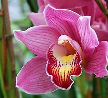 Pink Orchid by Kathleen Brant