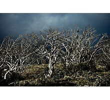 Snow gum Photographic Print