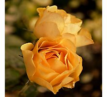 Two Yellow Roses Photographic Print