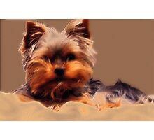 Yorkshire Terrier - Diffuse Glow Photographic Print