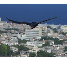 Cuban Turkey Vulture Photographic Print
