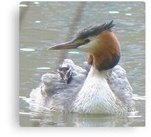 A Grebe And It's Chick Canvas Print