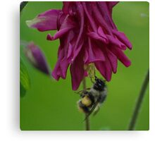 Bumble Bee With Massive Pollen Sacks On A Columbine Canvas Print