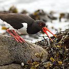 Oyster Catcher by Alan Forder