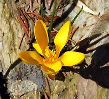 Yellow Crocus by buddykfa
