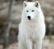 Arctic Wolf - The White Ghost Of The North 3 by WolvesOnly