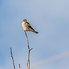 Kestrel On A Limb by Thomas Young
