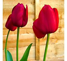Red Tulips ..  Photographic Print