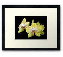 Yellow Orchids Against Black Framed Print