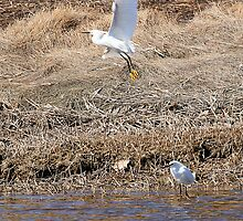 snowy egret in the wind by lloydsjourney