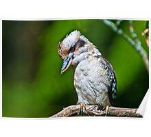 Kookaburra at Sherbrooke Forest III Poster
