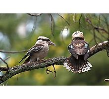 Kookaburras at Sherbrooke Forest Photographic Print