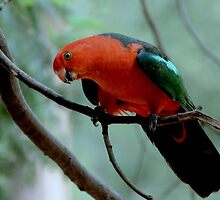 Australian King Parrot by Tom Newman