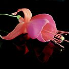 Fuchsia XIX by Tom Newman