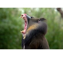 Mandrill at Melbourne Zoo III Photographic Print