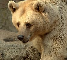 Syrian Brown Bear  V by Tom Newman