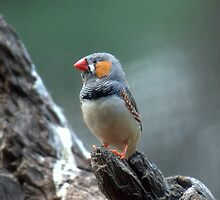 Male Zebra Finch by Tom Newman