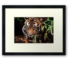Sumatran Tiger VI Framed Print