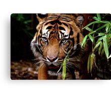 Sumatran Tiger VI Canvas Print