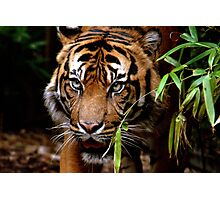 Sumatran Tiger VI Photographic Print