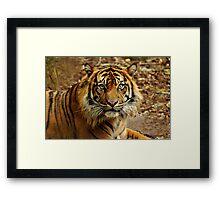 Sumatran Tiger II Framed Print