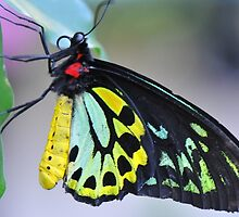 Butterfly Cairns Birdwing III by Tom Newman