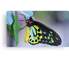 Butterfly Cairns Birdwing III Canvas Print