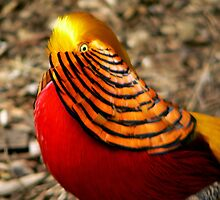 Golden Pheasant by Tom Newman
