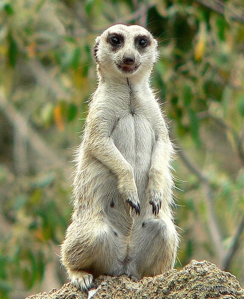 Happy Meerkat by Tom Newman