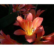 Sunlight Strikes an Orange Clivia Miniata  Photographic Print
