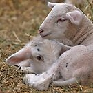 Lamb Snuggle by Dawne Olson